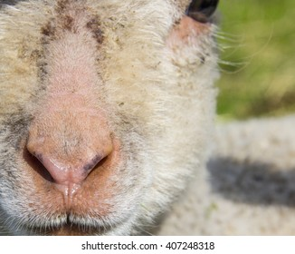 closeup of the face of a solitary lamb in field in spring