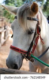 Closeup Face white horse in the farm