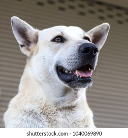 Close-up of the face of a white Thai dog who is staring at something and opens his mouth funny and playful.