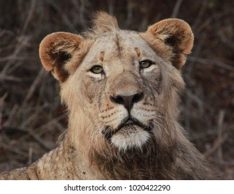 A closeup face of a young male lion staring directly at the camera on Safari in South Africa.