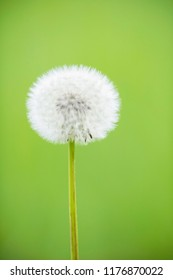 Close-up of faded dandelion with faded green background.
