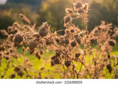 close-up of a faded thistle in the fall