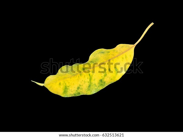 Closeup fallen yellow leaf isolated on black background with clipping path