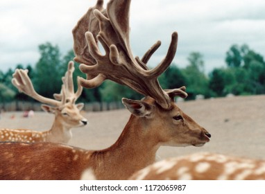 Closeup of a fallow deer buck with another in the background as part of a herd.