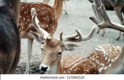 Closeup of a fallow deer buck in a herd.