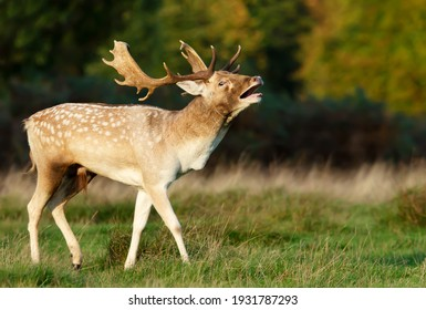 Close-up of a Fallow deer stag calling during rutting season in autumn, UK.