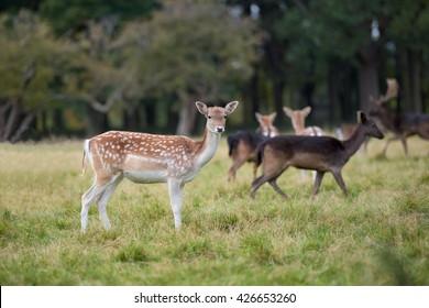 Close-up fallow deer standing in autumn wood