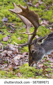 Close-up of fallow-deer eating. Side view of head and antler