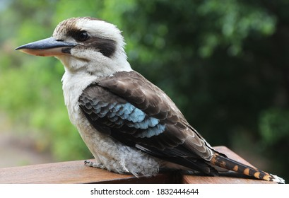 A closeup of a famous Australian Kookaburra bird in natural bush setting