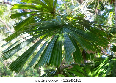 Closeup of Fan Palm leaves in The Daintree, Tropical North Queensland, Australia