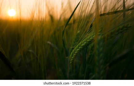 A closeup of a farm grain crop as it grows in a field during a beautiful sunrise in a rural countryside setting. Soon it will be harvest season and the farmers will collect the seasons wheat crops.