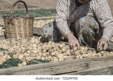Closeup farmer hands selecting fig fruits spreading on platform under the sun in order to dry