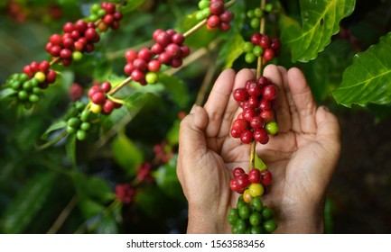 Close-up of a farmer who picks an Arabica coffee branch on a coffee plant in northern Thailand, coffee beans, a special word stem