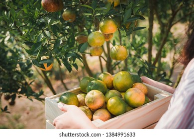 Close-Up of Farmer Woman Hands is Harvesting Orange in Organic Farm, Agriculturist Reaping an Oranges into Her Basket, Agriculture and Plantation Concept.