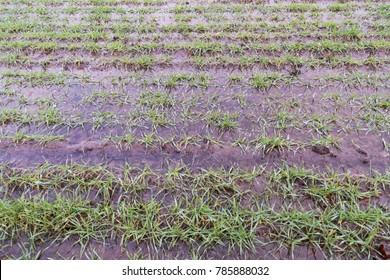 Closeup of a farmers flooded green grain field