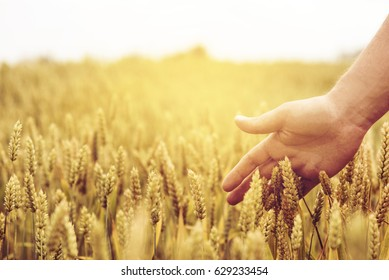 Closeup of farmer's hand over wheat ears growing in summer. Sunset over golden crop field in countryside. Agricultural growth and farming concept.