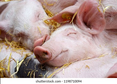 closeup of fat happy pink and black newborn baby pigs piglets huddling together sleeping and smiling after feeding