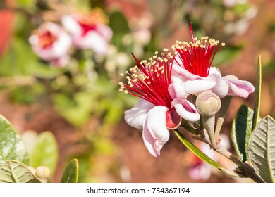 close-up of feijoa flowers in bloom