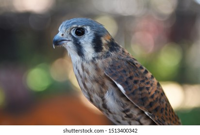Closeup of an female American Kestrel, Falco sparverius, the smallest falcon in North America.