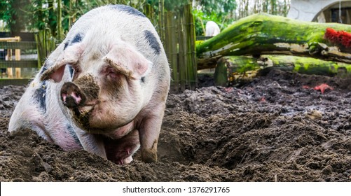 closeup of a female bentheimer pig sitting in the mud, Dutch pig breed
