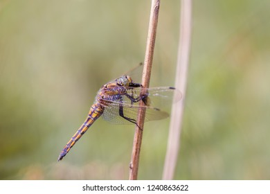 Close-up of a female black-tailed skimmer (Orthetrum cancellatum)