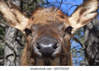 Close-up of a female cow elk