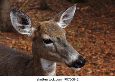 Close-up of a female deer in autumn woods