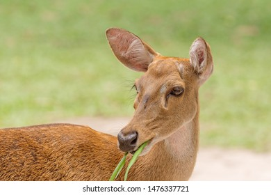 Close-up female Eld's deer or Brow-antlered deer (Rucervus eldii thamin) eating grass.