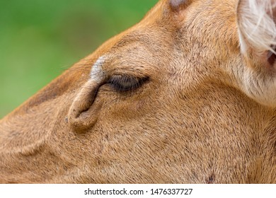 Close-up female Eld's deer or Brow-antlered deer (Rucervus eldii thamin).