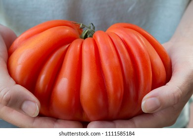 closeup of female hands, holding very big crinkly red tomato