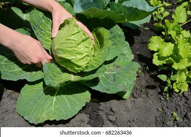 Closeup of female hands that harvest a cabbage growing in the garden