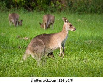 Close-up of female kangaroo with joey in her pouch grazing in a field of grass in a group with other kangaroos in the background.
