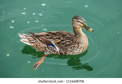 Closeup of a female mallard duck on the shores of the Upper Zurich Lake (Obersee), Switzerland