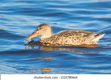 Closeup of a female northern shoveler duck, anas clypeata, swimming on the clear blue water surface on a sunny day.