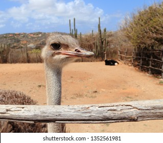 Close-up of a female ostrich (Struthio camelus) and her mate in their pen at the Aruba Ostrich Farm, Paradera, Aruba.
