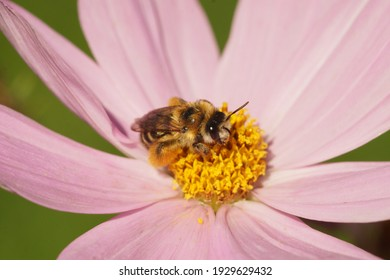 A closeup of a female pantaloon bee on a pink cosmos flower