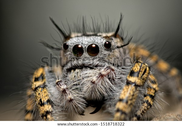 closeup-female-phidippus-mystaceus-jumpi