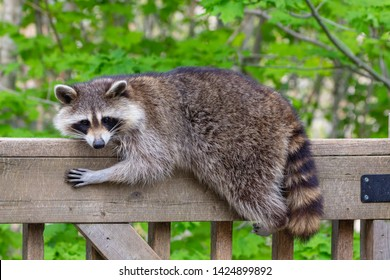 Close-up of a female raccoon resting on the railing of a wooden deck against a green leafy background.
