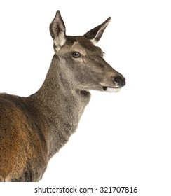 Close-up of a female red deer in front of a white background
