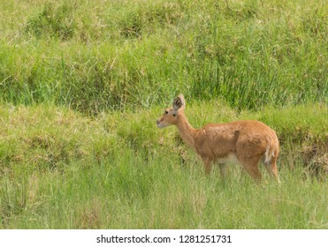 "Closeup of a female Reedbuck (scientific name: Redunca redunca, or ""Tohe ndope"" in Swaheli) in Tanzania"