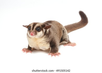 Closeup of female sugar glider standing on the floor isolate on white