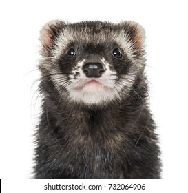Close-up of a ferret, isolated on white