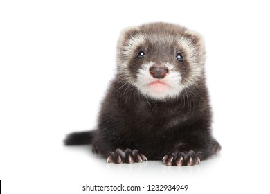 Close-up of a Ferret puppy on white background. Baby animal theme