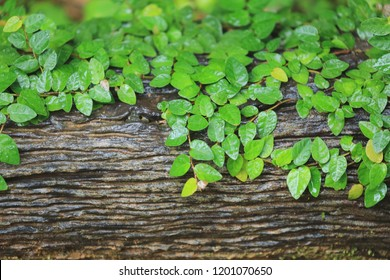Close-up of ficus pumila leaves on the surface of old trees selective focus and shallow depth of field