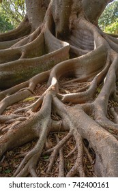 Closeup of ficus tree roots also known as banyan tree