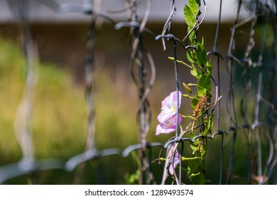 Close-up of a field bindweed (Convolvulus Arvensis), which bathes in sunlight. The flower is grown on a steel mesh.