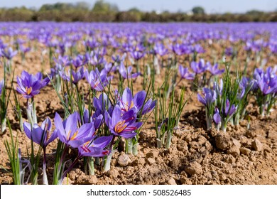 Close-up of a field of saffron