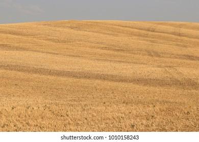 Closeup of field of wheat stubble