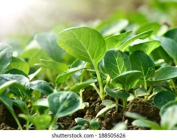 Close-up fields grow vegetables