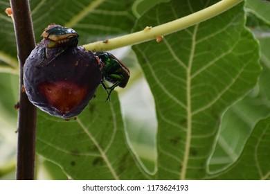 Closeup Of Fig Beetles Eating A Fig